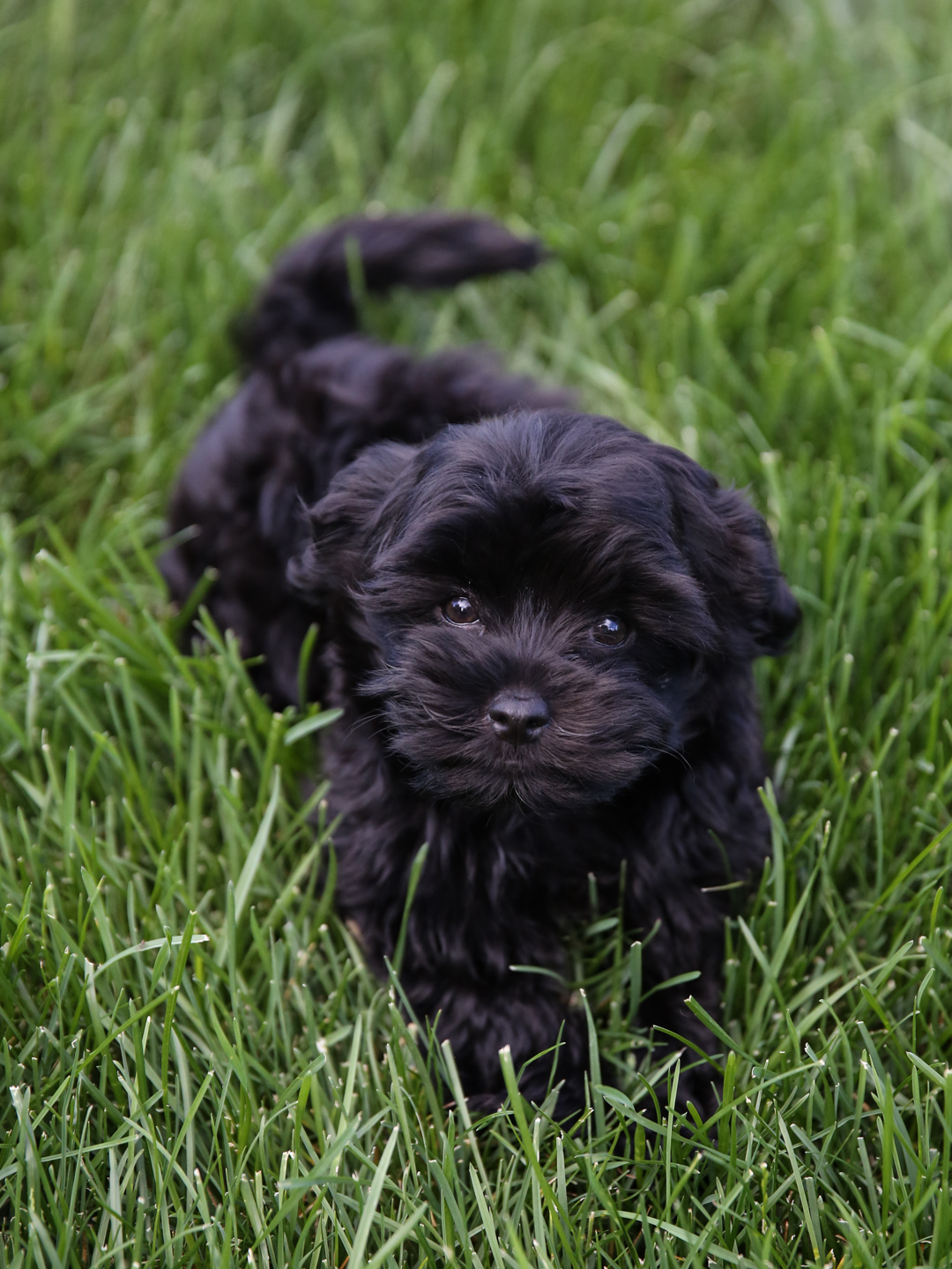 Purchasing a Havanese Puppy