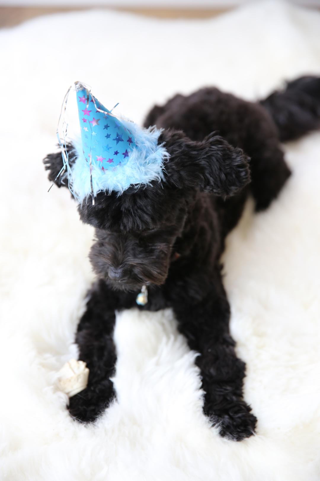 birthday hat on havanese puppy