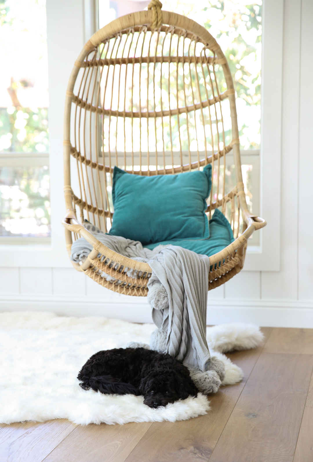 Havanese Dog resting